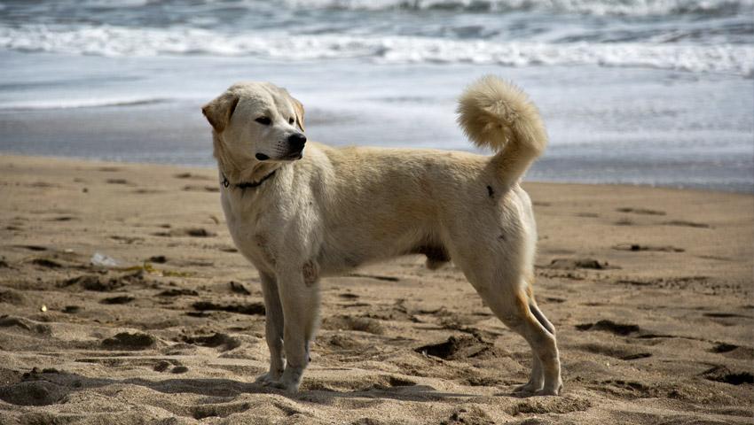 Hund am Strand von Kuta, Bali