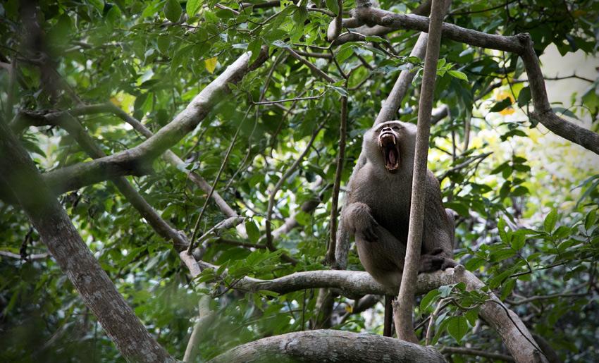 Phuket (ein sehr müder Affe)